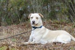 Κίτρινο εργαστηρίων κινεζικό σκυλί φυλής της Shar μικτό Pei Στοκ Εικόνες