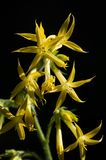 Κίτρινο ερυθρό Gila Στοκ Εικόνες