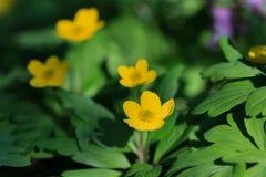 Κίτρινο δηλητηριώδες λουλούδι anemone Στοκ φωτογραφία με δικαίωμα ελεύθερης χρήσης