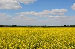 Κίτρινο θερινό λιβάδι στην Αγγλία Στοκ εικόνα με δικαίωμα ελεύθερης χρήσης