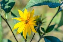 Κίτρινο θερινό λουλούδι Στοκ φωτογραφία με δικαίωμα ελεύθερης χρήσης