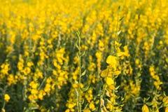 Κίτρινο λιβάδι λουλουδιών την άνοιξη Στοκ Φωτογραφίες
