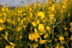 Κίτρινο λιβάδι λουλουδιών την άνοιξη Στοκ εικόνα με δικαίωμα ελεύθερης χρήσης