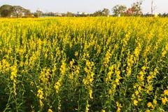 Κίτρινο λιβάδι λουλουδιών την άνοιξη Στοκ Εικόνες
