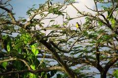 Κίτρινο διογκωμένο πουλί της Κόστα Ρίκα Bananaquit στοκ φωτογραφίες