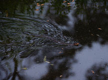 Κίτρινο διογκωμένο φίδι νερού Στοκ φωτογραφία με δικαίωμα ελεύθερης χρήσης