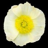 Κίτρινο κέντρο λουλουδιών άσπρων παπαρουνών που απομονώνεται στο Μαύρο Στοκ Φωτογραφία