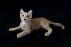 Κίτρινο και άσπρο γατάκι που βάζει στο μαύρο σκηνικό Στοκ Εικόνες