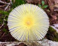Κίτρινο και άσπρο μανιτάρι στο δάσος στοκ φωτογραφία με δικαίωμα ελεύθερης χρήσης