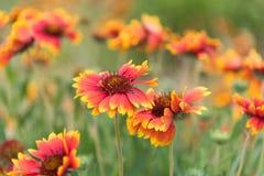 Κίτρινο και κόκκινο κοινό aristata Gaillardia blanketflowers που ανθίζει το καλοκαίρι Στοκ εικόνες με δικαίωμα ελεύθερης χρήσης