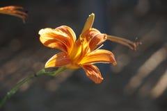 Κίτρινο και κόκκινο λουλούδι που ανθίζει στο sunshie στοκ εικόνα με δικαίωμα ελεύθερης χρήσης