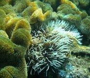Κίτρινο και μαύρο Clownfish Στοκ φωτογραφίες με δικαίωμα ελεύθερης χρήσης