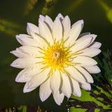 Κίτρινο και μπλε κρίνος νερού ή λουλούδι λωτού Στοκ Φωτογραφίες