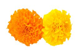 Κίτρινο και πορτοκαλί αφρικανικό Marigold Στοκ φωτογραφία με δικαίωμα ελεύθερης χρήσης