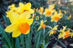 Κίτρινο και πορτοκαλί Daffodil Στοκ φωτογραφίες με δικαίωμα ελεύθερης χρήσης