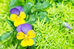 κίτρινο και πορφυρό λουλούδι χρώματος viola στον κήπο Στοκ Φωτογραφία