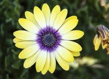 Κίτρινο και πορφυρό χρυσάνθεμο στοκ εικόνες