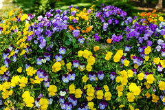 Κίτρινο και πορφυρό Pansies στον επίσημο κήπο στοκ εικόνα με δικαίωμα ελεύθερης χρήσης