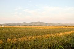 Κίτρινο καλλιεργήσιμο έδαφος ρυζιού Στοκ φωτογραφία με δικαίωμα ελεύθερης χρήσης