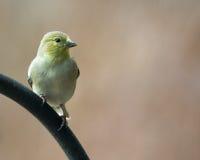 Κίτρινο καναρίνι Στοκ Φωτογραφίες