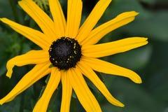 Κίτρινο καφετής-Eyed λουλούδι της Susan Στοκ φωτογραφία με δικαίωμα ελεύθερης χρήσης