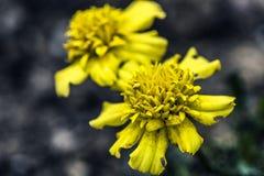 Κίτρινο καλυμμένο δια θόλου λουλούδι Στοκ φωτογραφία με δικαίωμα ελεύθερης χρήσης