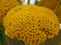 Κίτρινο κεφάλι λουλουδιών που μοιάζει με το κοράλλι στοκ εικόνες