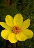Κίτρινο κεφάλι λουλουδιών κόσμου Στοκ εικόνα με δικαίωμα ελεύθερης χρήσης