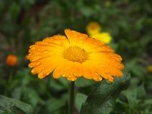 Κίτρινο κοινό marigold Στοκ φωτογραφίες με δικαίωμα ελεύθερης χρήσης