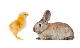 Κίτρινο κοτόπουλο και καφετί κουνέλι Στοκ Εικόνα