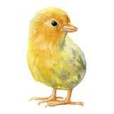 Κίτρινο κοτόπουλο στο άσπρο υπόβαθρο ελεύθερη απεικόνιση δικαιώματος