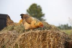 Κίτρινο κοτόπουλο στο σωρό λιπάσματος στοκ εικόνα με δικαίωμα ελεύθερης χρήσης