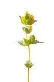 Κίτρινο κουδούνισμα (ανήλικος Rhinanthus) στοκ φωτογραφίες με δικαίωμα ελεύθερης χρήσης