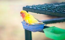 Κίτρινο κόκκινο λίγο lovebird Στοκ φωτογραφία με δικαίωμα ελεύθερης χρήσης