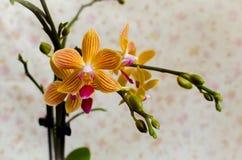 Κίτρινο κόκκινο phalaenopsis Στοκ φωτογραφίες με δικαίωμα ελεύθερης χρήσης