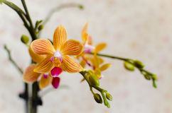 Κίτρινο κόκκινο phalaenopsis Στοκ Εικόνες