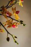 Κίτρινο κόκκινο phalaenopsis Στοκ εικόνες με δικαίωμα ελεύθερης χρήσης