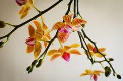 Κίτρινο κόκκινο phalaenopsis Στοκ φωτογραφία με δικαίωμα ελεύθερης χρήσης
