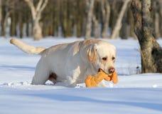 Κίτρινο Λαμπραντόρ το χειμώνα με ένα παιχνίδι Στοκ φωτογραφία με δικαίωμα ελεύθερης χρήσης