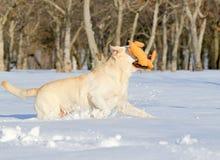 Κίτρινο Λαμπραντόρ το χειμώνα που τρέχει με ένα παιχνίδι Στοκ Φωτογραφία