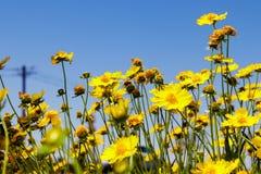 Κίτρινο λιβάδι μαργαριτών ενάντια σε έναν μπλε ουρανό Στοκ Εικόνα