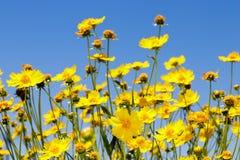 Κίτρινο λιβάδι μαργαριτών ενάντια σε έναν μπλε ουρανό Στοκ Φωτογραφίες