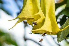 Κίτρινο λουλούδια ή ghorta Γ Pauldopia Φορέστε Steenis και τη μέλισσα στοκ εικόνες