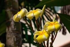 Κίτρινο λουλούδια ή obtusa Plumeria στον κήπο Στοκ εικόνα με δικαίωμα ελεύθερης χρήσης