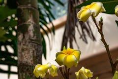 Κίτρινο λουλούδια ή obtusa Plumeria στον κήπο Στοκ φωτογραφία με δικαίωμα ελεύθερης χρήσης