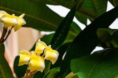 Κίτρινο λουλούδια ή obtusa Plumeria στον κήπο Στοκ εικόνες με δικαίωμα ελεύθερης χρήσης