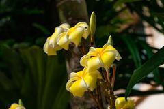 Κίτρινο λουλούδια ή obtusa Plumeria στον κήπο Στοκ Φωτογραφίες