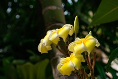 Κίτρινο λουλούδια ή obtusa Plumeria στον κήπο Στοκ φωτογραφίες με δικαίωμα ελεύθερης χρήσης