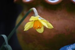 Κίτρινο λουλούδι άνοιξη daffodil με το χιόνι που λαμβάνεται στο Σάσσεξ Αγγλία Στοκ Εικόνες