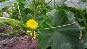 Κίτρινο λουλούδι αγγουριών σε έναν κήπο στοκ εικόνα με δικαίωμα ελεύθερης χρήσης